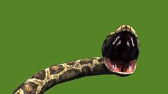 Snake & jungle carpet python open mouth attack,sliding decorative non venomous. - stock footage