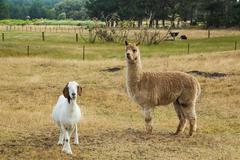 alpaca & goat - stock photo