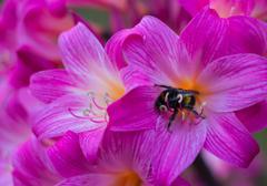 Amaryllis bumble bee Stock Photos
