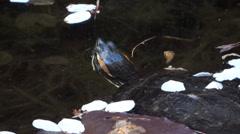 Japanese Garden - Water Turtles In Pond - 17 Stock Footage