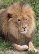 Big male lion Stock Photos