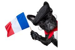 French dog Stock Photos