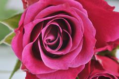 Rose macro Stock Photos