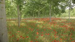 Poppy Field red flowers Tracking shot spring background fresh new nature Stock Footage