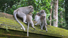 Monkey forest Ubud, Bali, Indonesia Stock Footage