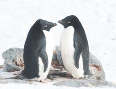 Stock Photo of two adelie penguins in the nest.