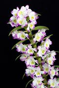 dendrobium orchid hybrids. isolated on black - stock photo