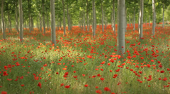 Field full of amazing red flowers, poppy field - Tracking shot Stock Footage
