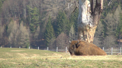 European Bison Bonasus, Buffalo Resting, Relaxing in Mountains, Wildlife, Nature - stock footage