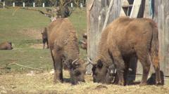 Herd European Bison Bonasus, Buffalo Grazing in Mountains, Endangered Animal Stock Footage