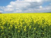Stock Photo of Field of rapeseed