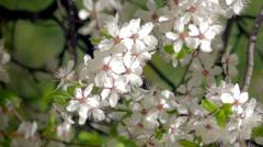 Spring flowering of plants Stock Footage