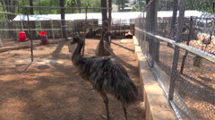 Emu, flightless birds, a largest bird native to Australia Stock Footage