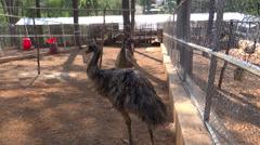 Emu, flightless birds, a largest bird native to Australia - stock footage