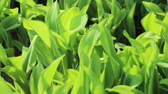 Lily of the valley green leaves on wind Stock Footage