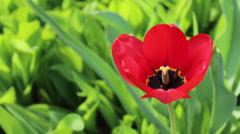 Red tulip flower close up. Tulipa on green grass background Stock Footage