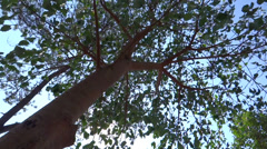 Tree leaves are making musical sound in airy atmosphere Stock Footage