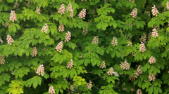 blooming chestnut moving in the wind a - stock footage