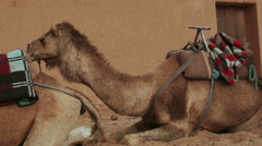 Camel with saddle sitting in front of a red-brown wall Stock Footage