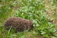 european hedgehog among green grass - stock photo