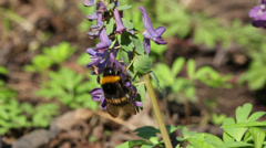 Bumblebee on flower in spring forest Stock Footage