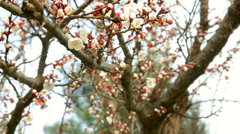 Blooming almond tree at spring with travelling technique filming Stock Footage