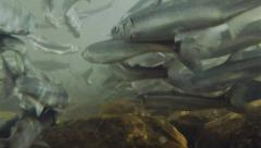Underwater School of Smelt Hooligan from Behind with Rocks Spawning Run Stock Footage