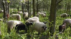 Sheep eating hogweed - stock footage