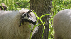 Sheep eating hogweed Stock Footage