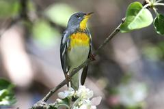 Northern parula on a branch Stock Photos
