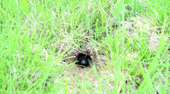 Black cricket bug in the  hole ground with light green grass Stock Footage