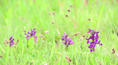 Beautiful spring landscape, wild orchid flowers and light green grass Stock Footage