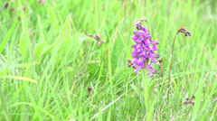 Wild purple orchid flower and light green grass, beautiful spring landscape Stock Footage