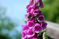 Bumble bee on a foxglove flower - stock photo