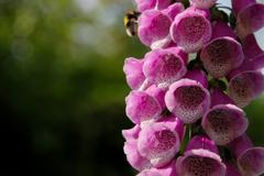 Pink foxglove blooms being pollinated by a bumble bee Stock Photos