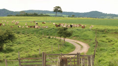 View of a typical farm of southeast Brazil with Gir cows Stock Footage