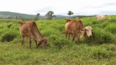 Two Gir cows grazing Stock Footage