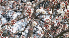 Blossomed almond tree - stock footage