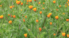 Orange daisies on a green meadow Stock Footage