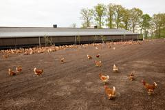 chicken at poultry farm in The Netherlands - stock photo
