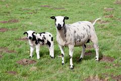 ewe and lamb in meadow - stock photo