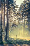 Evening forest with sun and volume light Stock Photos