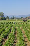 chili thai agricultural plantations - stock photo