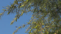 Fir Branches - 05 - Needles & Bees - Close - Loop Stock Footage