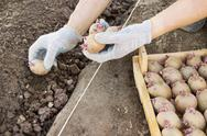 Stock Photo of jarovize and  planting potatoes  manually in your garden