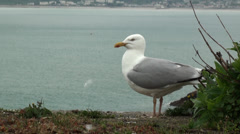 Sea Gull Standing on Jersey Shore 2 Stock Footage