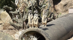 Meerkats in the Zoo Stock Footage