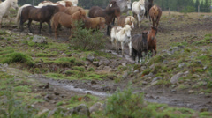 Iceland horses running in the wild - stock footage