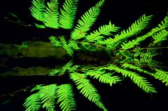 Silver tree fern Stock Photos
