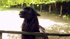 Creepy Lama Stock Footage